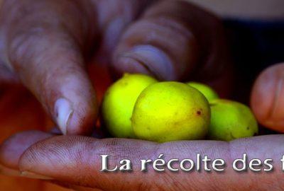 Récolte fruit argan